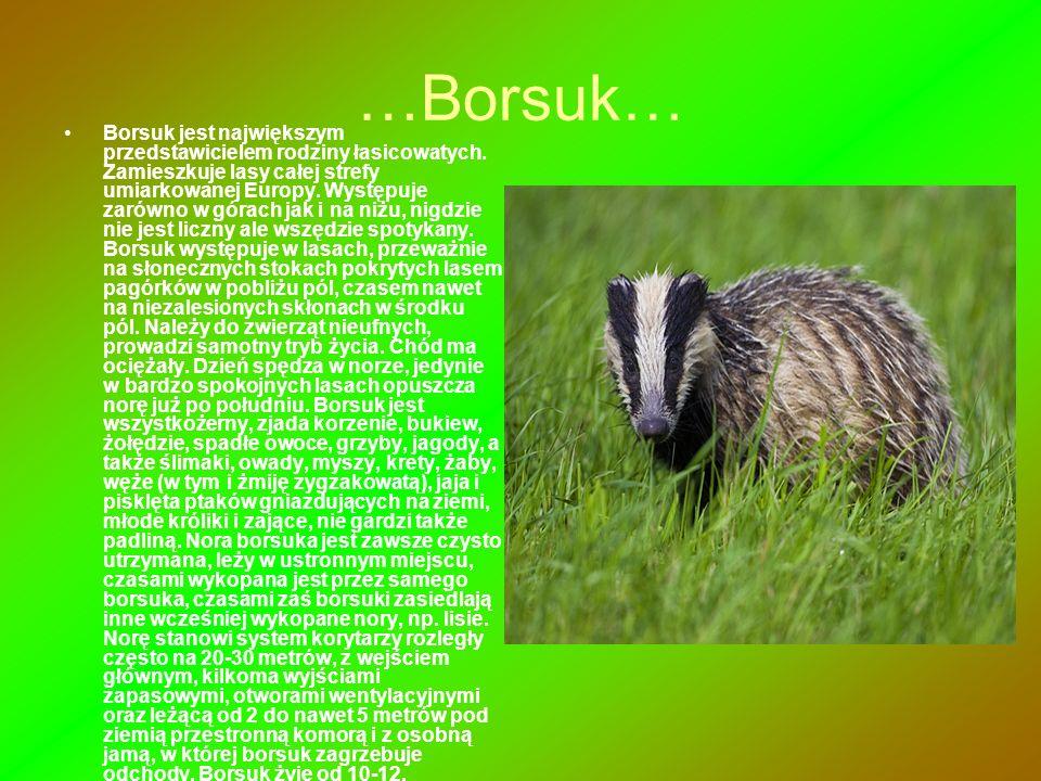 …Borsuk…
