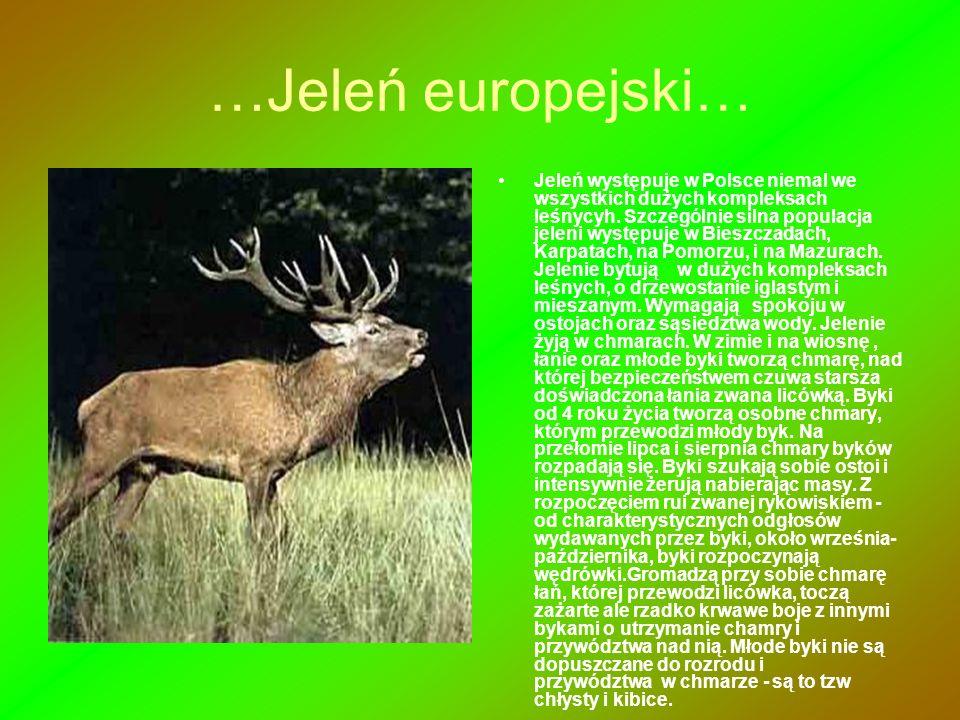 …Jeleń europejski…