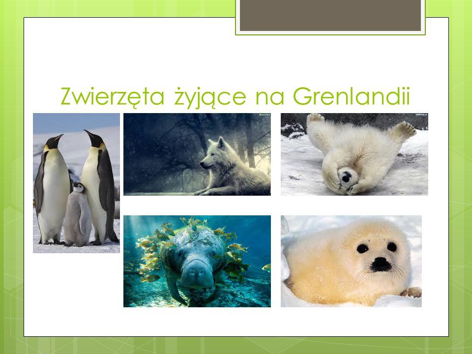 Zwierzęta żyjące na Grenlandii