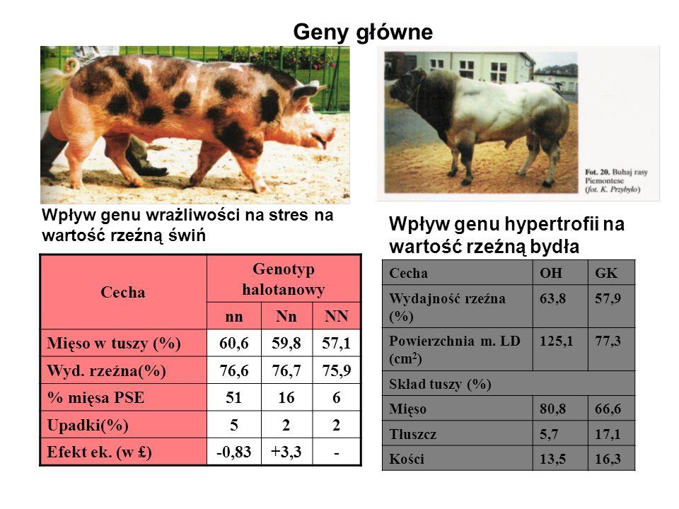 Geny główne Wpływ genu hypertrofii na wartość rzeźną bydła