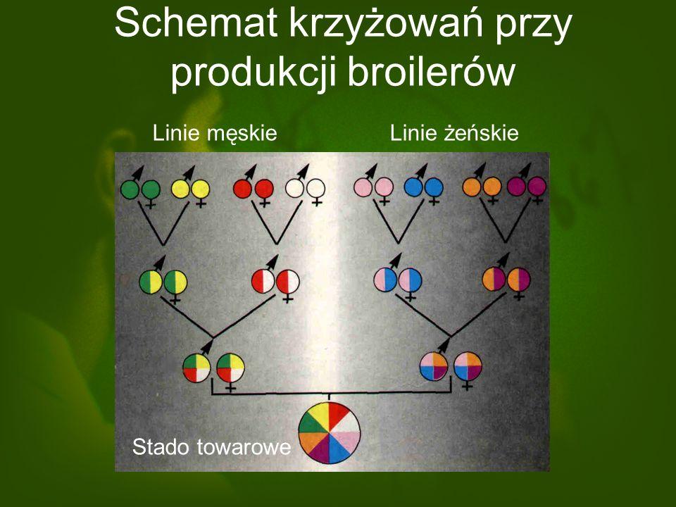 Schemat krzyżowań przy produkcji broilerów