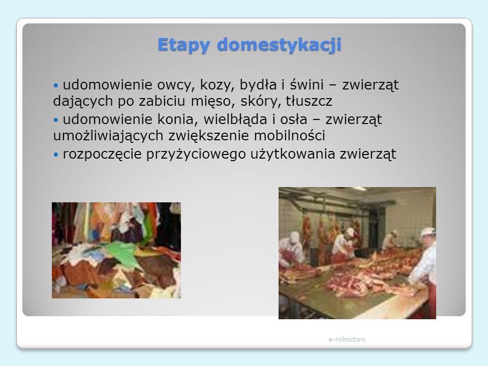 Etapy domestykacji udomowienie owcy, kozy, bydła i świni – zwierząt dających po zabiciu mięso, skóry, tłuszcz.