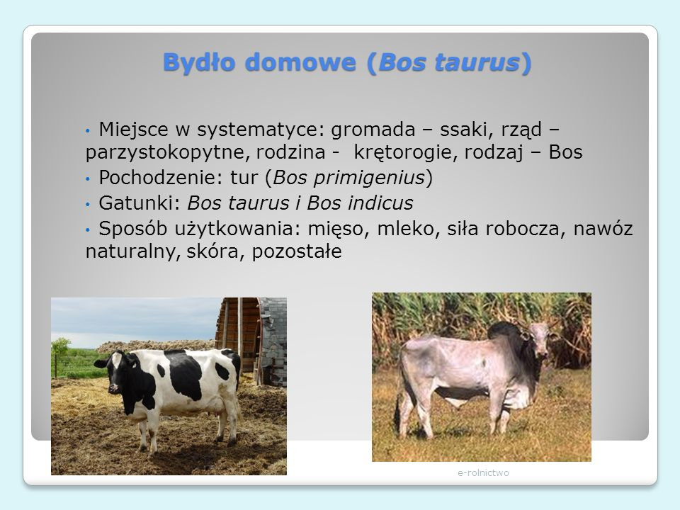 Bydło domowe (Bos taurus)