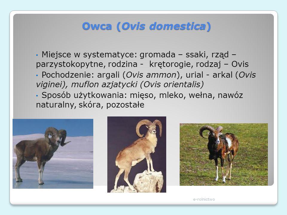 Owca (Ovis domestica) Miejsce w systematyce: gromada – ssaki, rząd – parzystokopytne, rodzina - krętorogie, rodzaj – Ovis.