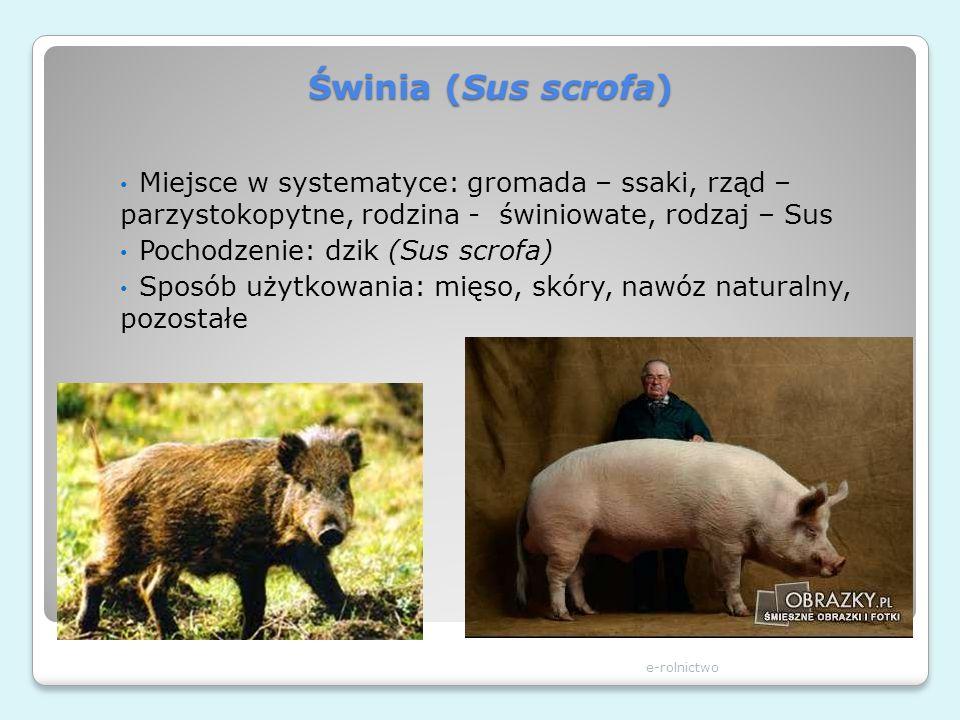 Świnia (Sus scrofa) Miejsce w systematyce: gromada – ssaki, rząd – parzystokopytne, rodzina - świniowate, rodzaj – Sus.