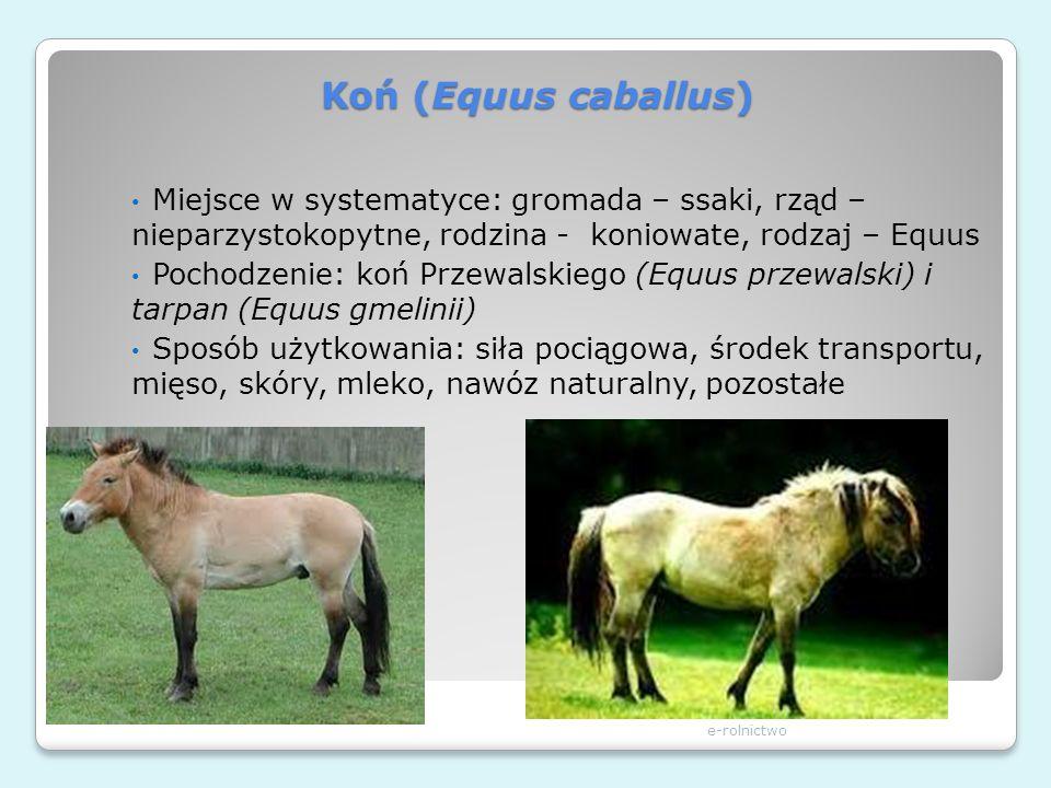 Koń (Equus caballus) Miejsce w systematyce: gromada – ssaki, rząd – nieparzystokopytne, rodzina - koniowate, rodzaj – Equus.