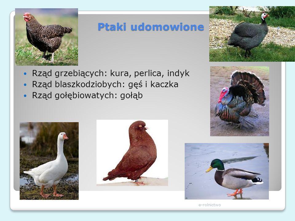 Ptaki udomowione Rząd grzebiących: kura, perlica, indyk