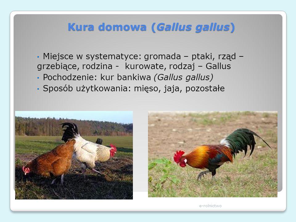 Kura domowa (Gallus gallus)
