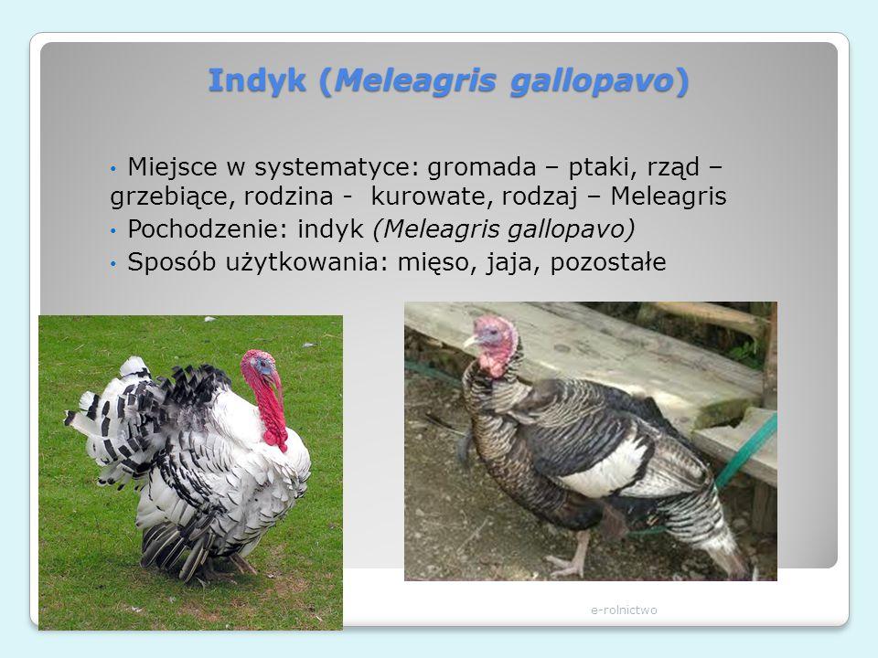 Indyk (Meleagris gallopavo)