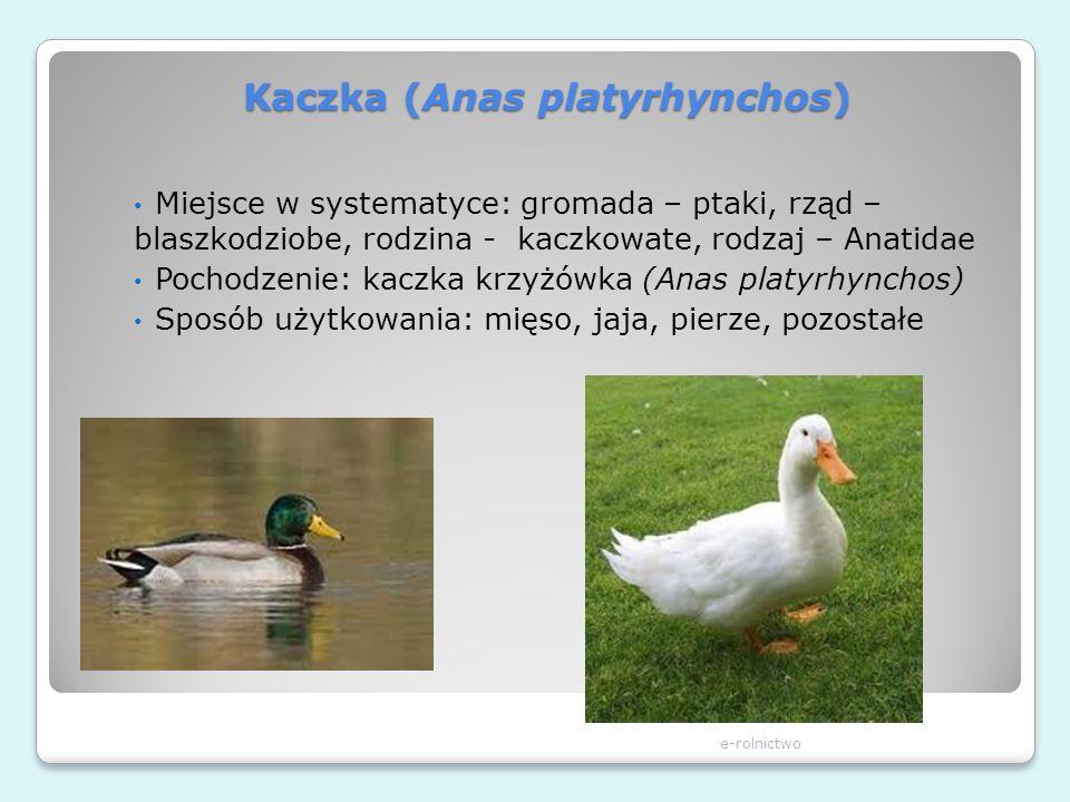 Kaczka (Anas platyrhynchos)