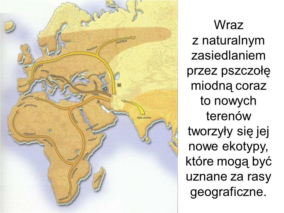 Wraz z naturalnym zasiedlaniem przez pszczołę miodną coraz to nowych terenów tworzyły się jej nowe ekotypy, które mogą być uznane za rasy geograficzne.