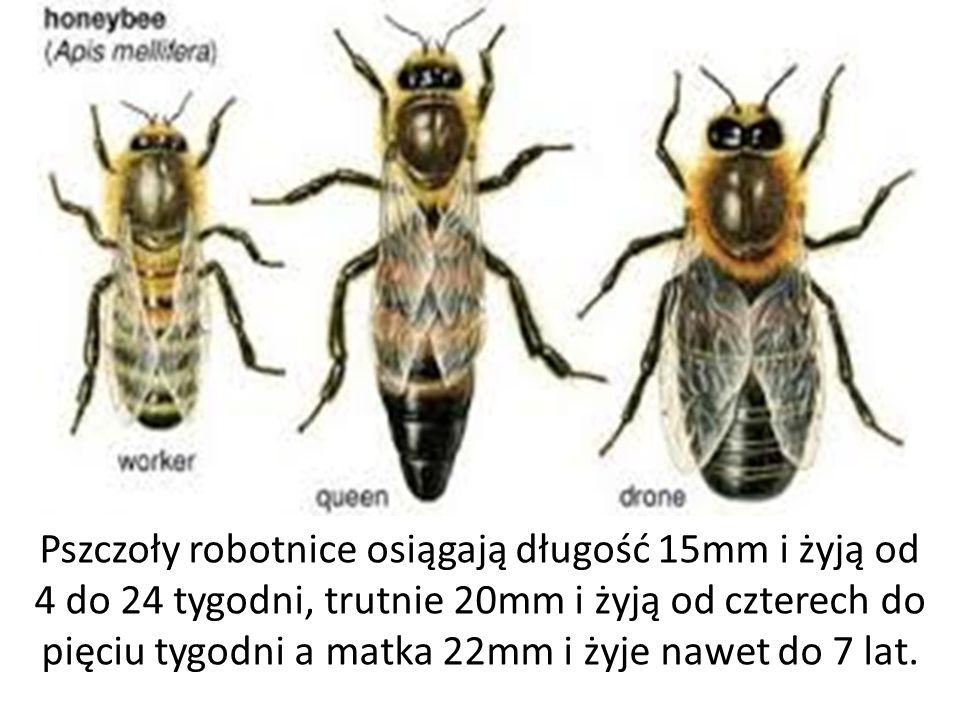 Pszczoły robotnice osiągają długość 15mm i żyją od 4 do 24 tygodni, trutnie 20mm i żyją od czterech do pięciu tygodni a matka 22mm i żyje nawet do 7 lat.
