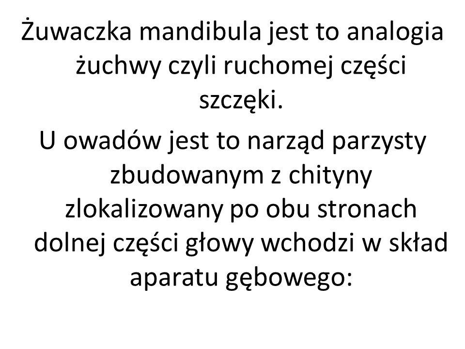 Żuwaczka mandibula jest to analogia żuchwy czyli ruchomej części szczęki.
