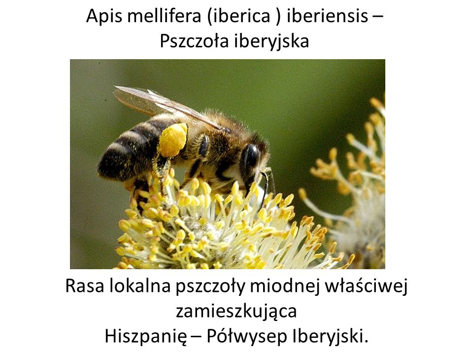 Apis mellifera (iberica ) iberiensis – Pszczoła iberyjska