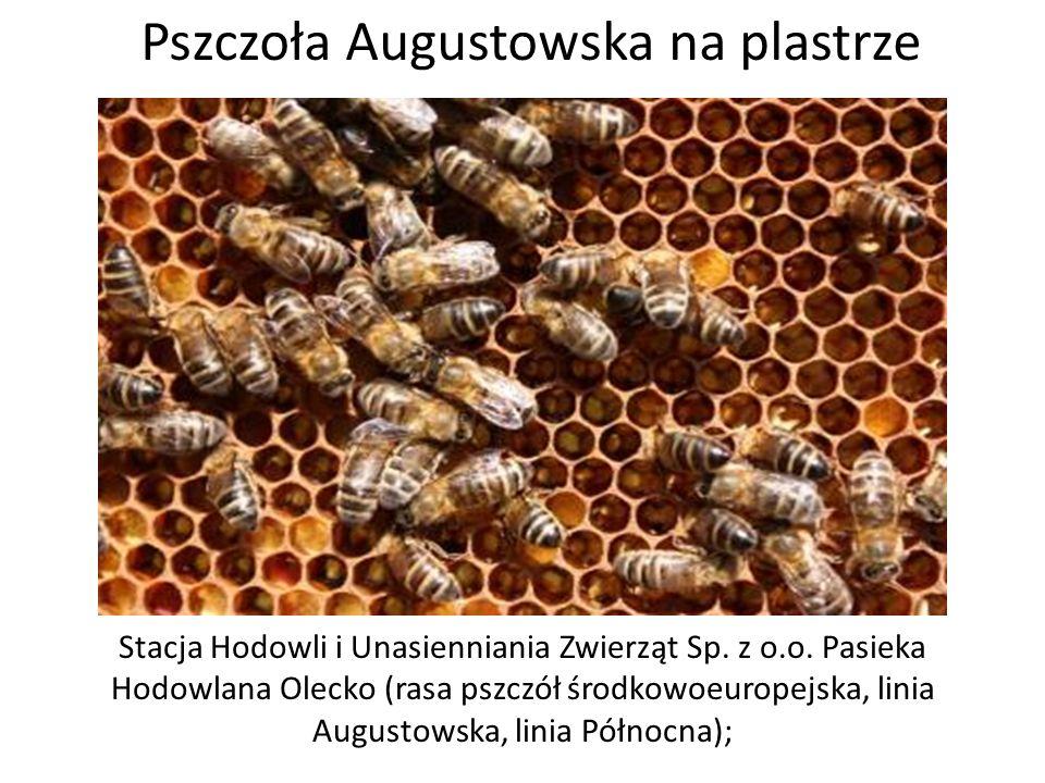 Pszczoła Augustowska na plastrze