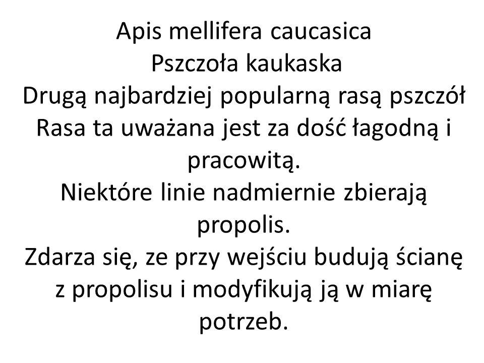 Apis mellifera caucasica Pszczoła kaukaska