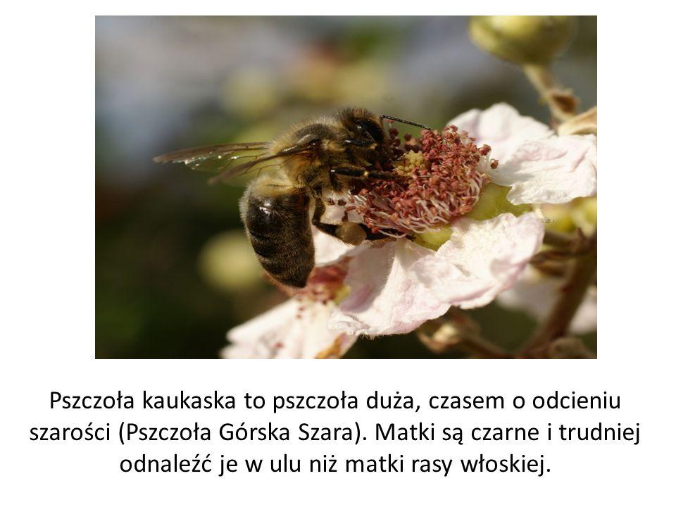 Pszczoła kaukaska to pszczoła duża, czasem o odcieniu szarości (Pszczoła Górska Szara).
