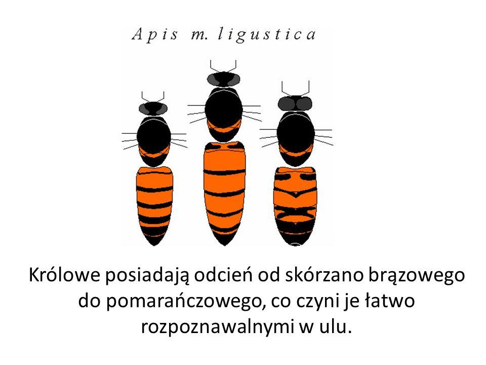 Królowe posiadają odcień od skórzano brązowego do pomarańczowego, co czyni je łatwo rozpoznawalnymi w ulu.
