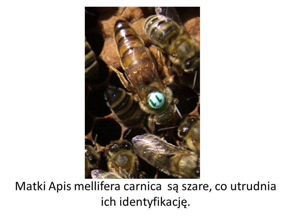 Matki Apis mellifera carnica są szare, co utrudnia ich identyfikację.
