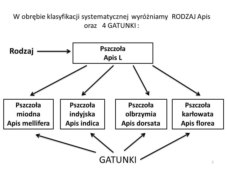 W obrębie klasyfikacji systematycznej wyróżniamy RODZAJ Apis oraz 4 GATUNKI :