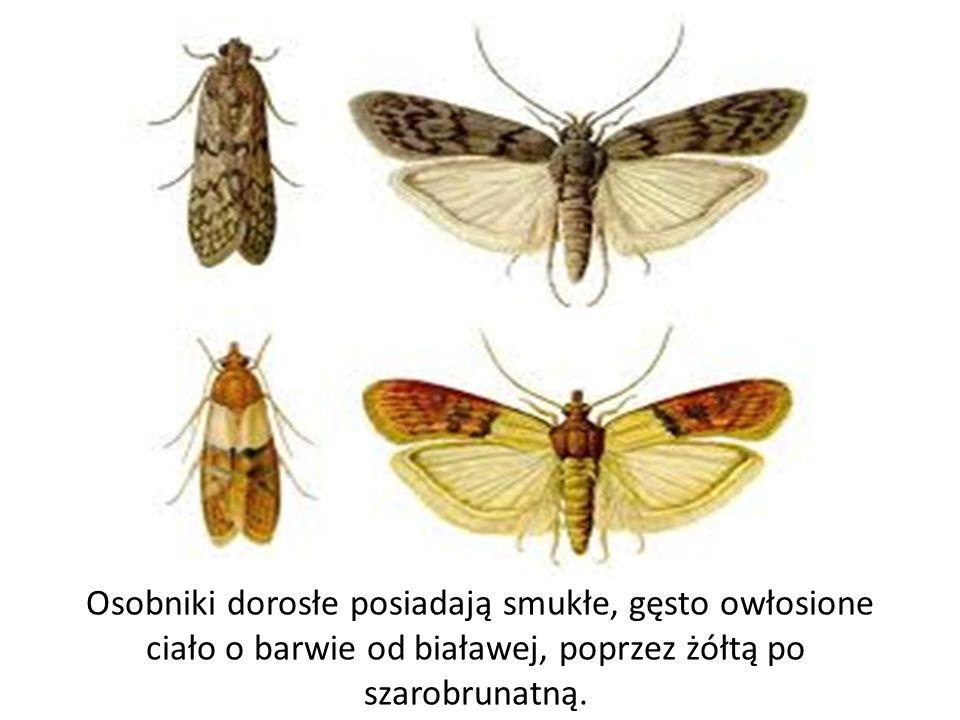 Osobniki dorosłe posiadają smukłe, gęsto owłosione ciało o barwie od białawej, poprzez żółtą po szarobrunatną.