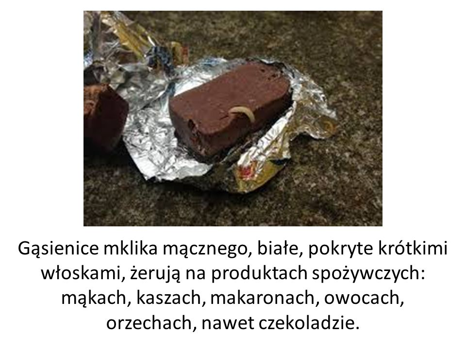Gąsienice mklika mącznego, białe, pokryte krótkimi włoskami, żerują na produktach spożywczych: mąkach, kaszach, makaronach, owocach, orzechach, nawet czekoladzie.