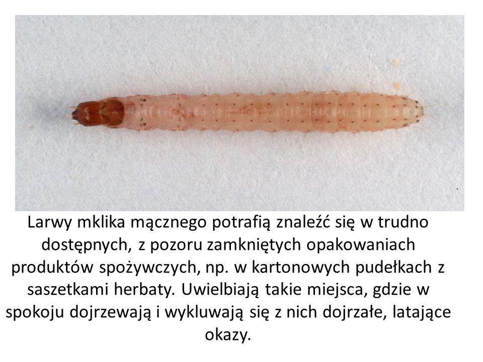 Larwy mklika mącznego potrafią znaleźć się w trudno dostępnych, z pozoru zamkniętych opakowaniach produktów spożywczych, np.