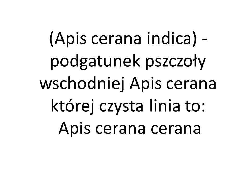 (Apis cerana indica) - podgatunek pszczoły wschodniej Apis cerana której czysta linia to:
