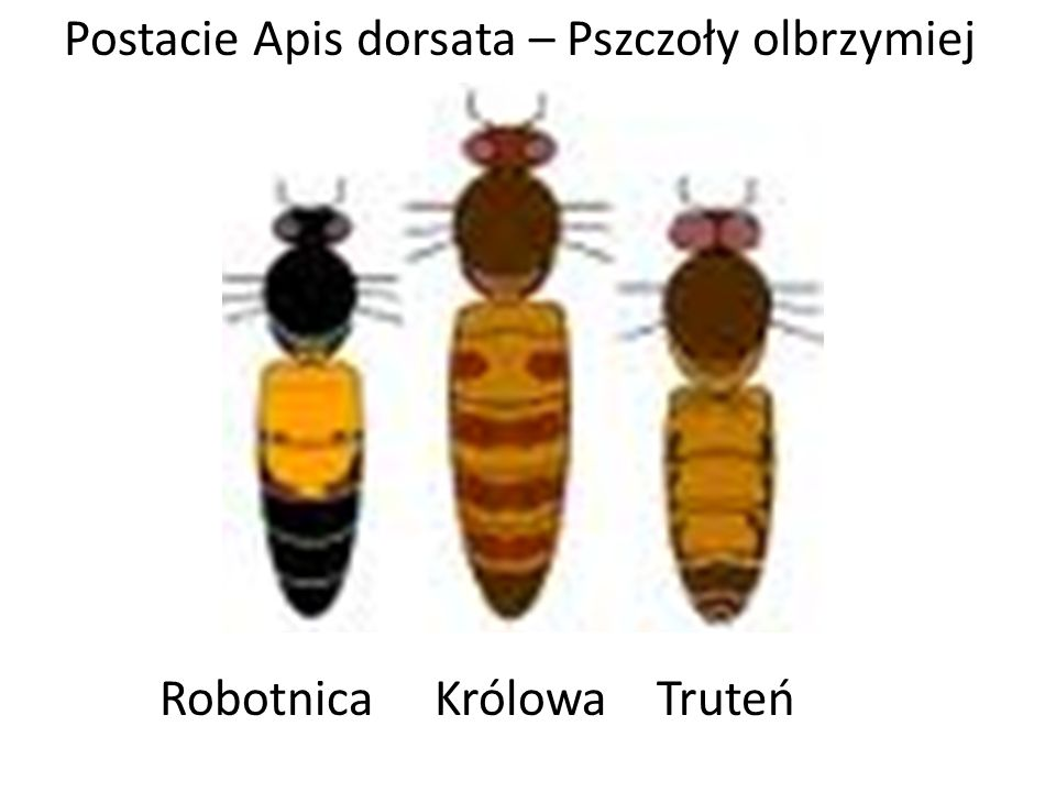 Postacie Apis dorsata – Pszczoły olbrzymiej