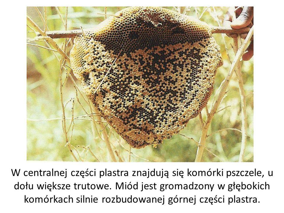 W centralnej części plastra znajdują się komórki pszczele, u dołu większe trutowe.