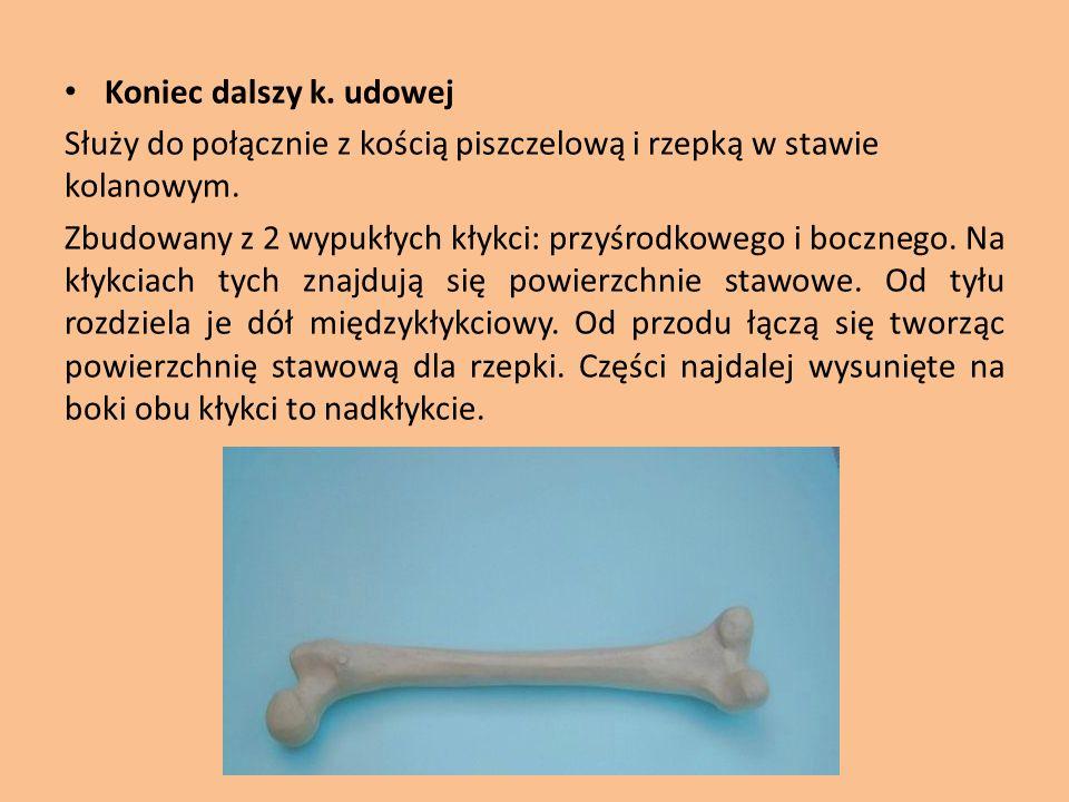 Koniec dalszy k. udowej Służy do połącznie z kością piszczelową i rzepką w stawie kolanowym.