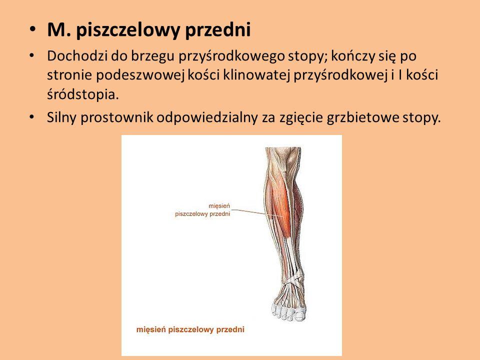 M. piszczelowy przedni
