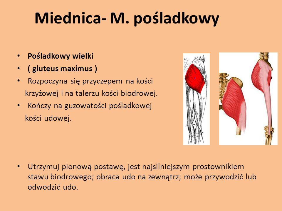 Miednica- M. pośladkowy