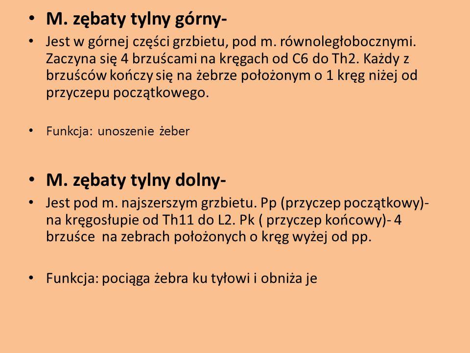 M. zębaty tylny górny- M. zębaty tylny dolny-