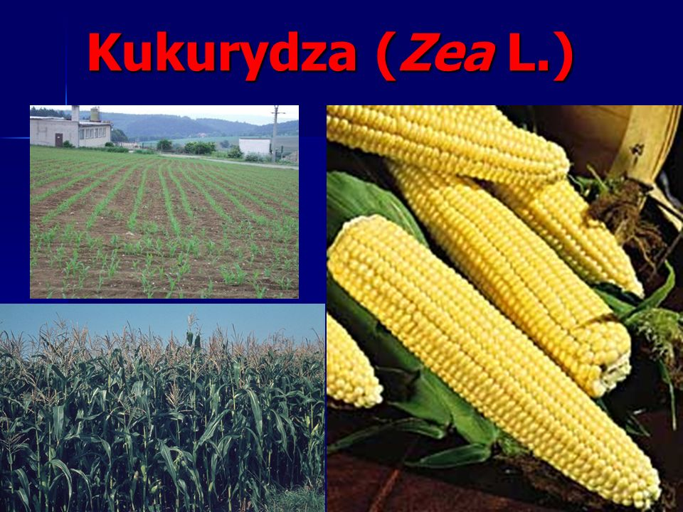 Kukurydza (Zea L.)