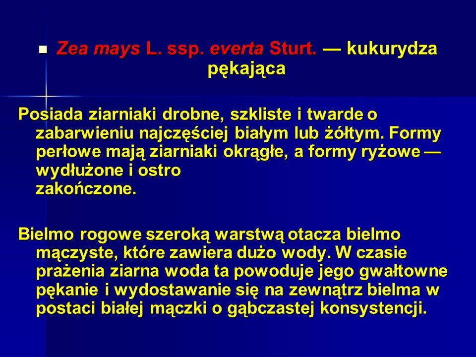 Zea mays L. ssp. everta Sturt. — kukurydza pękająca