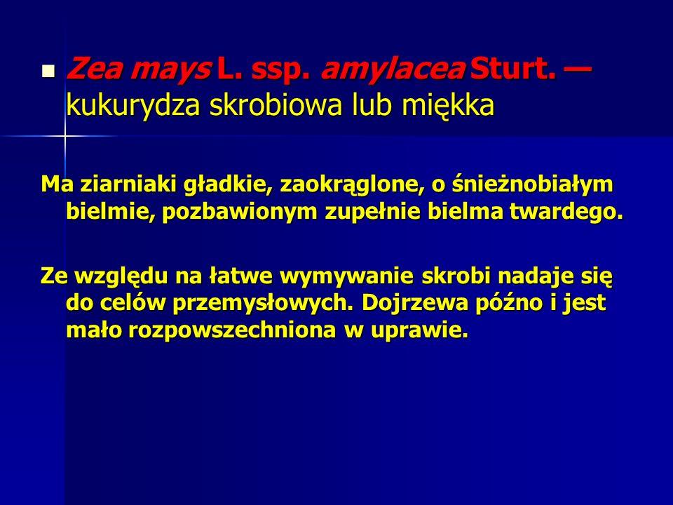 Zea mays L. ssp. amylacea Sturt. — kukurydza skrobiowa lub miękka