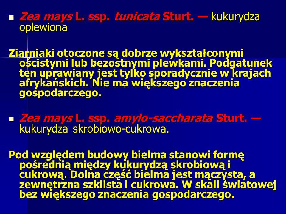 Zea mays L. ssp. tunicata Sturt. — kukurydza oplewiona