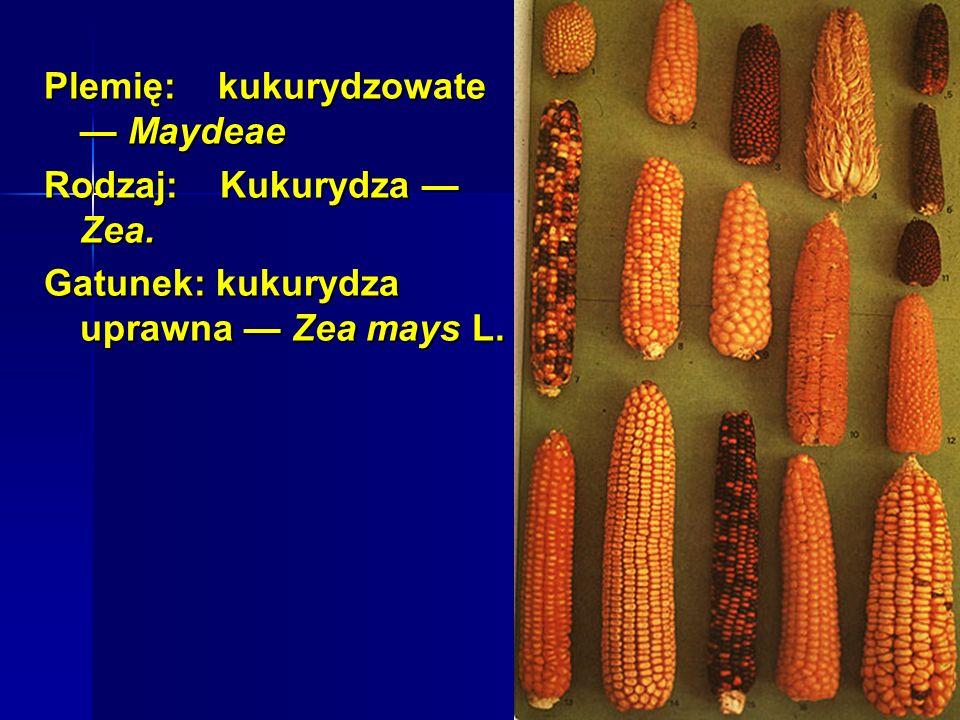 Plemię: kukurydzowate — Maydeae