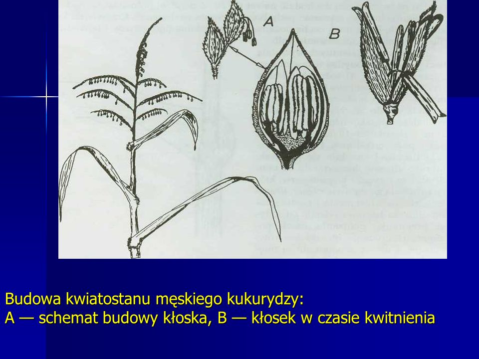 Budowa kwiatostanu męskiego kukurydzy: A — schemat budowy kłoska, B — kłosek w czasie kwitnienia