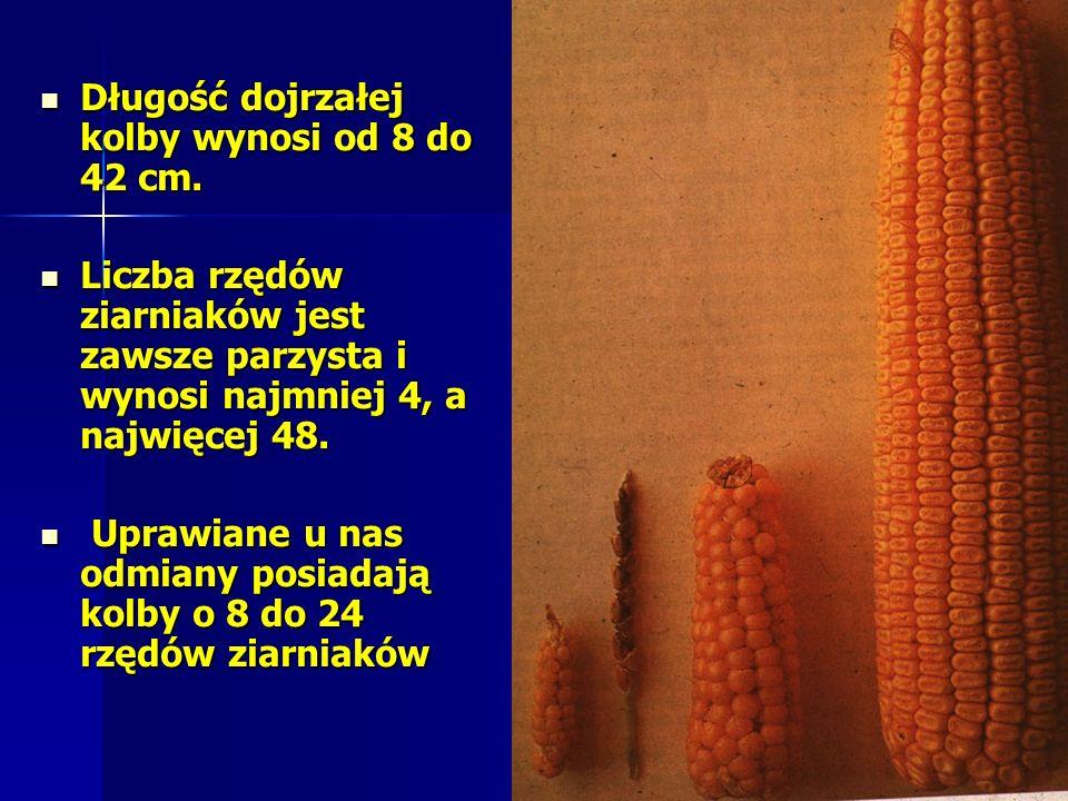 Długość dojrzałej kolby wynosi od 8 do 42 cm.