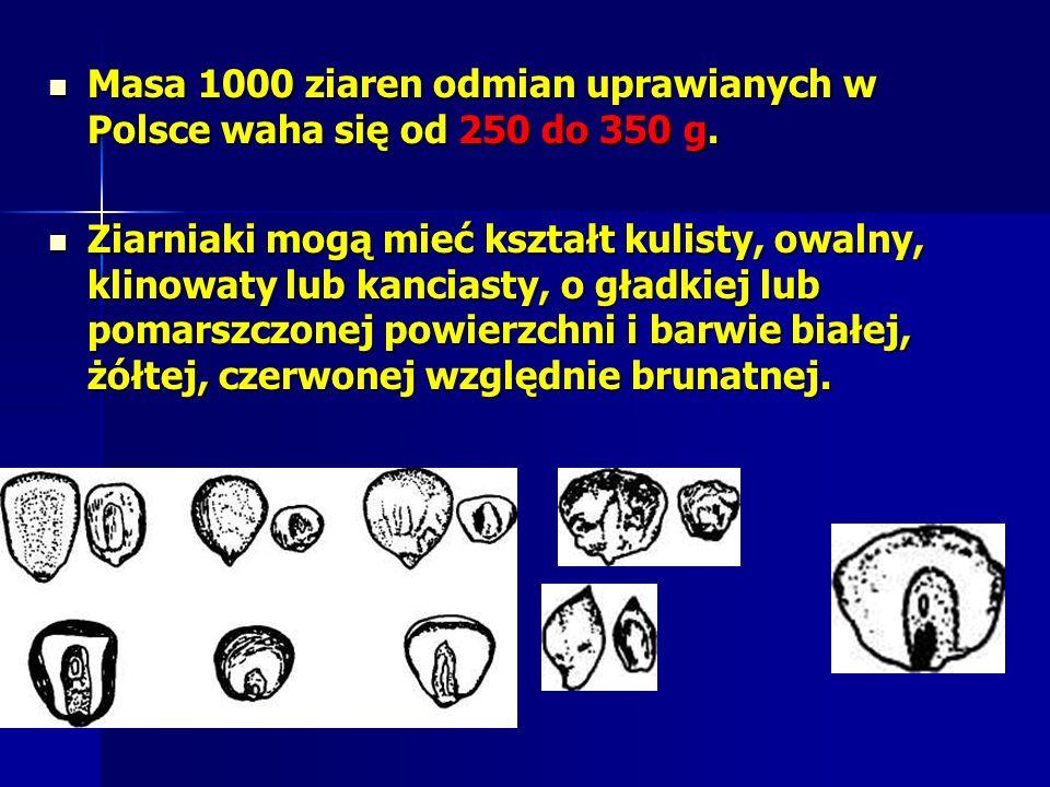 Masa 1000 ziaren odmian uprawianych w Polsce waha się od 250 do 350 g.