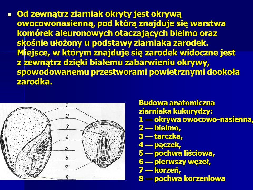 Od zewnątrz ziarniak okryty jest okrywą owocowonasienną, pod którą znajduje się warstwa komórek aleuronowych otaczających bielmo oraz skośnie ułożony u podstawy ziarniaka zarodek. Miejsce, w którym znajduje się zarodek widoczne jest z zewnątrz dzięki białemu zabarwieniu okrywy, spowodowanemu przestworami powietrznymi dookoła zarodka.
