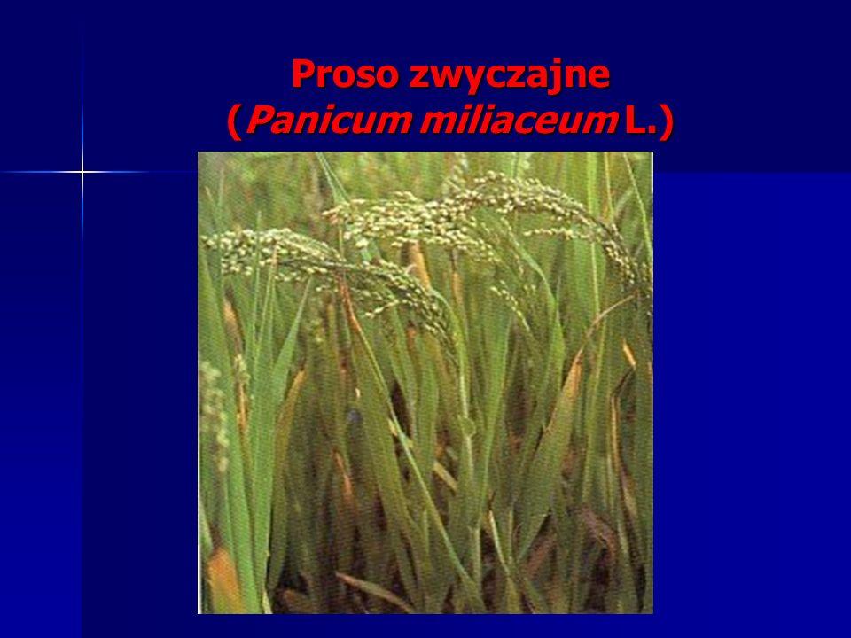 Proso zwyczajne (Panicum miliaceum L.)
