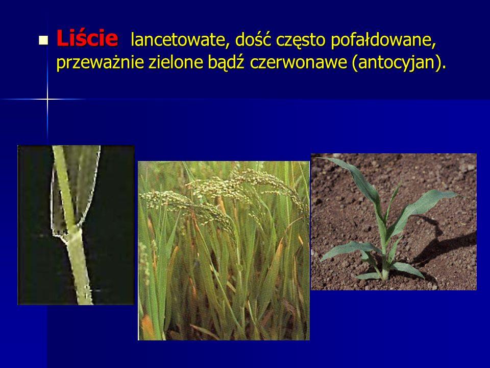 Liście lancetowate, dość często pofałdowane, przeważnie zielone bądź czerwonawe (antocyjan).