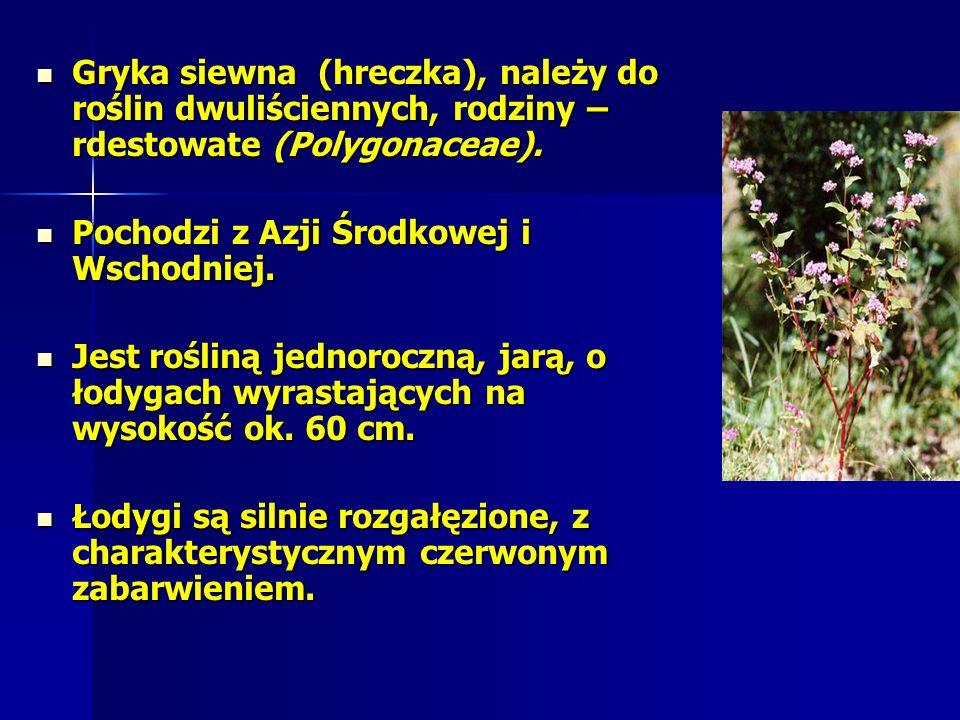 Gryka siewna (hreczka), należy do roślin dwuliściennych, rodziny – rdestowate (Polygonaceae).