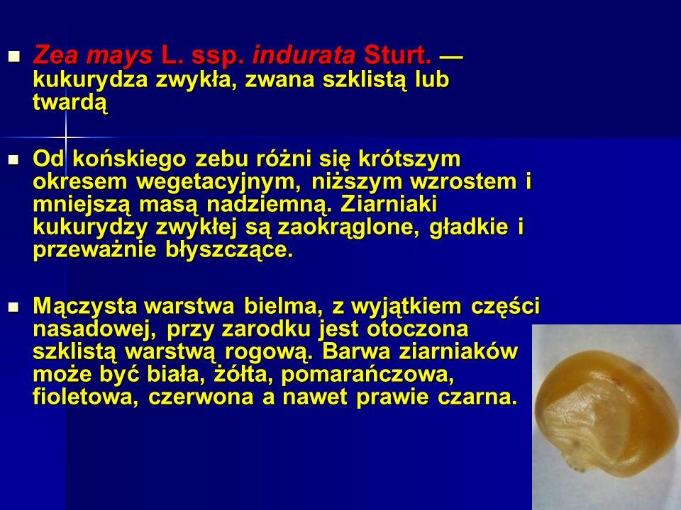 Zea mays L. ssp. indurata Sturt