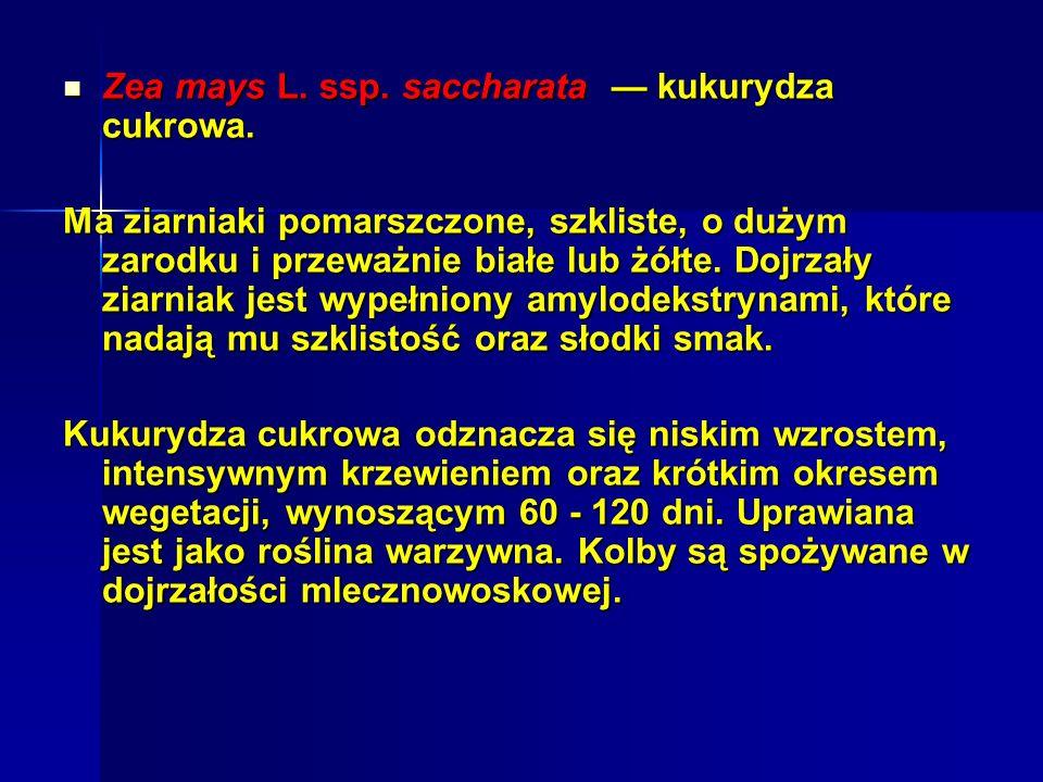 Zea mays L. ssp. saccharata — kukurydza cukrowa.