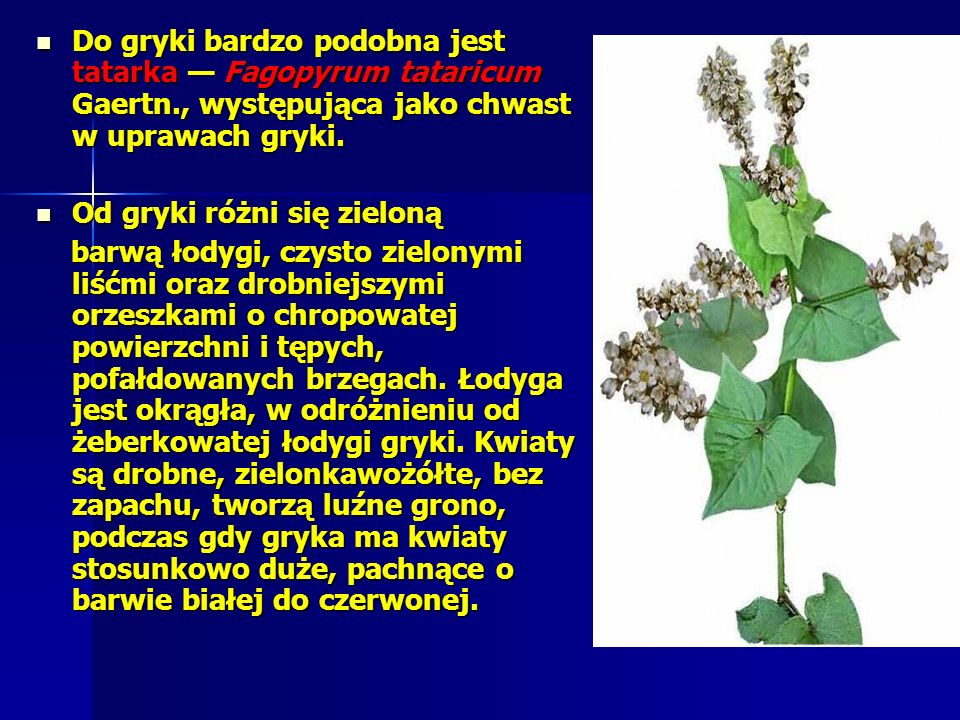 Do gryki bardzo podobna jest tatarka — Fagopyrum tataricum Gaertn