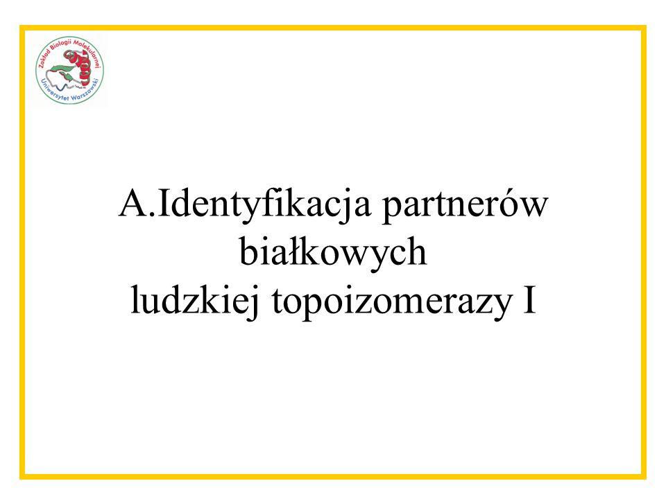Identyfikacja partnerów białkowych ludzkiej topoizomerazy I